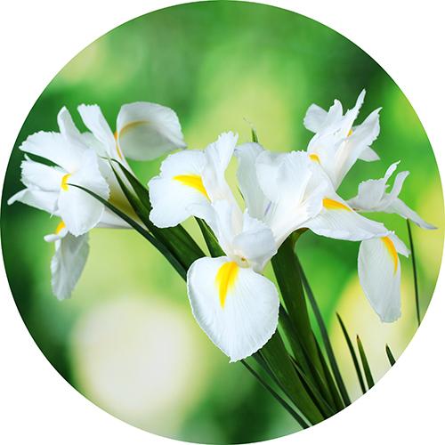 Fiore di Iris Biologico